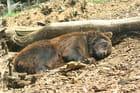 La sieste de l'ours