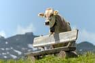La vache et son banc