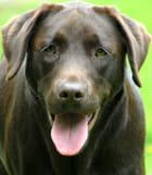 Labrador chocolat (1)