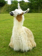 Lama qui fait le beau