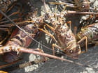 Langoustes de Martinique