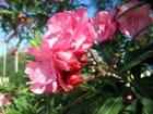 Laurier rose