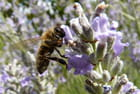 Lavande et l'abeille