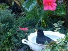 Le bain du merle