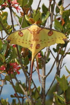 Le beau papillon Argema mittrei