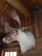 Le caribou blanc de la Baie-James