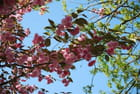 le cerisier fleuri