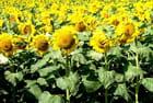 Le champ de tournesols