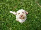 Le chien blanc dans l'herbe verte