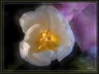 Le coeur de la tulipe