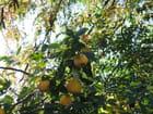 Le coing fruit du cognassier