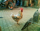 Le Coq forgeron