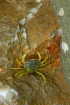 le crabe aux pinces d'or revu