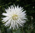 Le Dahlia blanc