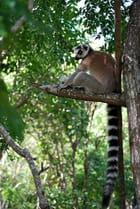 Le fameux lémurien
