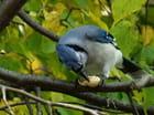 Le geai bleu et son arachide