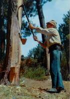 Le Gemmeur de pins