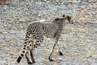 Le guépard s'éloigne