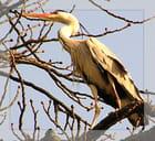 Le héron s'est posé sur la branche d'un arbre