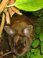 Le lapin Cachou