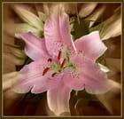 Le lys rose