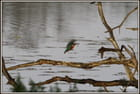 le martin pêcheur en action de pêche