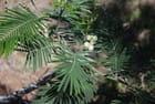 le mimosa de La Réunion