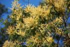 le mimosa est fleuri