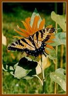 """""""Le Papillon""""."""