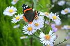 Le papillon dans les asters