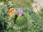 Le papillon et le chardon