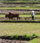 Le paysan et son buffle