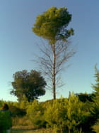 Le pin