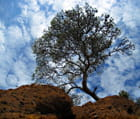Le pin et le Ciel