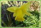 Le plaisir de voir la 1ère jonquille en fleur dans le jardin