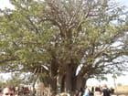 Le plus grand baobab du Sénégal