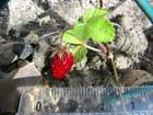 Le plus petit fraisier