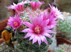 Le pollen des cactus attire!