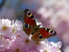 Le printemps du papillon