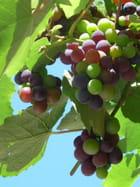 Le raisin des rives du lac de Come