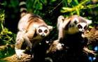 Le regard vif des lémuriens