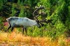 Le renne, animal emblématique de Laponie.