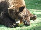 Le repas de l'ours