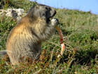Le repas de la marmotte