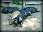 Le repos des porcins...