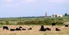 Le repos des taureaux