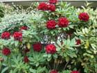 Le réveil des rhododendrons