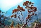 Le rhododendron, emblème floral du Népal.