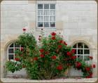 Le rosier rouge (FA)
