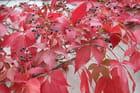 le rouge flamboyant de la vigne....vierge